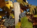 fall-grapes