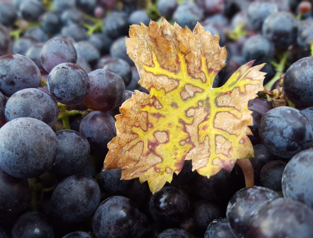 Cab-franc-harvest-